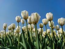 坐的郁金香的白色领域在阳光下 免版税图库摄影
