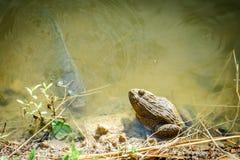 坐的青蛙和鱼在池塘 免版税库存照片