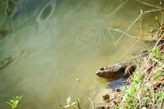 坐的青蛙在池塘 免版税库存图片