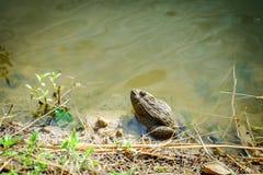 坐的青蛙在池塘 库存图片
