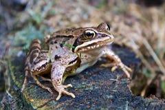 坐的青蛙 图库摄影