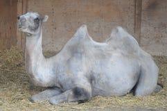 坐的骆驼 免版税库存图片