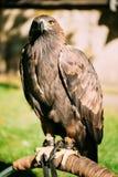 坐的鹫Haliaeetus albicilla 通配 库存图片