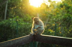 坐的猴子在阳光下 免版税库存图片