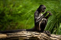 坐的猴子有乳脂状的绿色背景 免版税库存图片