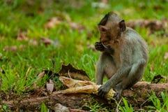 坐的猴子短尾猿 库存图片