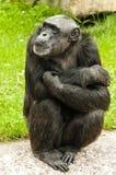 坐的黑猩猩 免版税库存照片