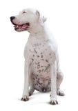 坐的dogo Argentino 图库摄影