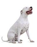 坐的dogo Argentino 免版税库存图片