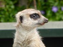 坐的Meerkat在阳光下 库存照片