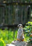 坐的Meerkat 免版税库存照片