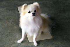 坐的Pomeranian 库存照片