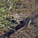 坐直在池塘关闭的一只池蛙 免版税库存图片