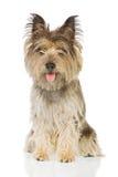 坐直的狗 免版税库存图片