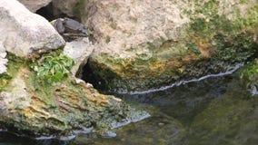 坐石头和跳跃在池塘的青蛙 影视素材