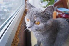 坐窗台和看在窗口外面的美丽的灰色猫 库存图片