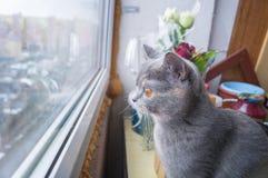 坐窗台和看在窗口外面的美丽的灰色猫 库存照片