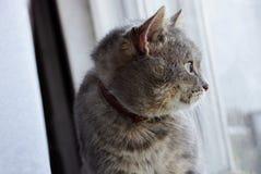 坐窗台和看窗口的灰色猫 库存照片