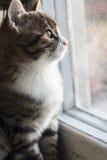 坐窗台和看老窗口的幼小猫 免版税库存照片