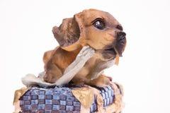 坐箱子甜小犬座的图 图库摄影