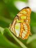 坐自温室,捷克的热带蝴蝶 免版税库存照片