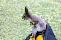坐袋子和拿着在它的爪子的好奇灰色灰鼠坚果 图库摄影