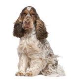 坐西班牙猎狗的30个斗鸡家英国月 库存图片