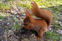 坐路面在公园和吃坚果的灰鼠 免版税库存照片