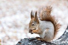 坐长凳和吃坚果的红松鼠在冬天公园 免版税图库摄影