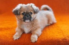 坐长沙发沙发长椅轻便马车的Pekingese小狗变粉红色背景 库存图片