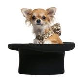 坐顶层的7个奇瓦瓦狗帽子月 免版税库存图片