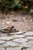 坐鹅卵石和搜寻食物,德国的花鸡 图库摄影