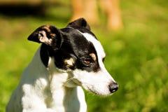 坐鼠的狗外面在阳光下 免版税库存照片