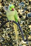 坐,好奇地看罗斯圈状的长尾小鹦鹉(;Psittacula Krameri);在后院庭院里 库存照片