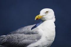 坐轻松自在地早晨星期日的海鸥。 库存照片