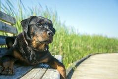 坐年轻男性的rottweiler户外 免版税图库摄影