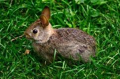坐直的兔宝宝 图库摄影