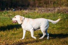 坐以绿色的白色拉布拉多猎犬狗 免版税图库摄影