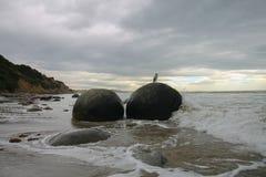 坐a Moeraki巨石城的粗毛在新西兰 免版税库存照片