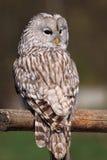 坐ural wisdow的猫头鹰 库存图片