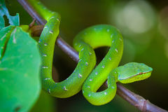 坑蛇蝎蛇, Bako国家公园 免版税图库摄影