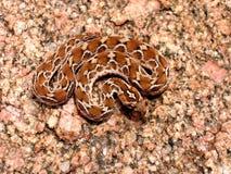 坑锯被称的蛇蝎 免版税库存图片