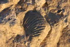 1块化石 免版税库存图片