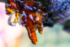 坚实琥珀色的树脂在樱桃树树干滴下 免版税图库摄影
