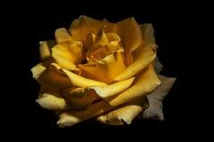 坚强的黄色罗斯 库存图片