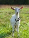 坚持在绿草的幼小山羊 免版税库存照片