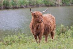 坚持江边的高地母牛 免版税库存照片