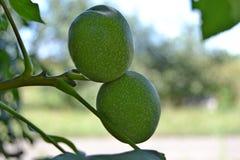坚果果树园 库存图片