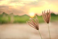 坚果草, cocograss,反对在日落风景blurr的阳光 库存照片