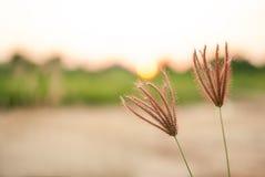 坚果草, cocograss,在日落风景弄脏了背景 图库摄影